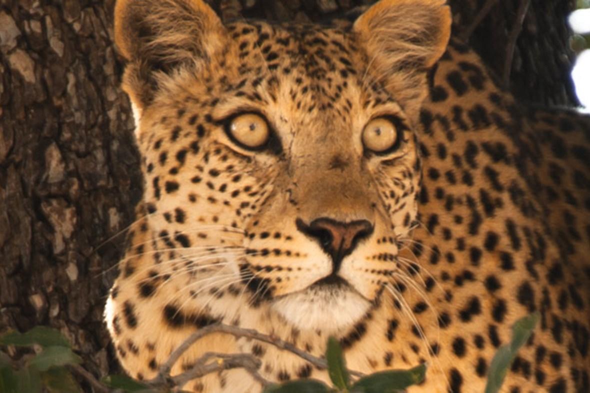 Dead Trees For Sale Leopards of Dead Tree Island